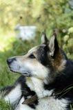 Wolf Husky Royalty Free Stock Photos