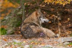 Wolf i det höstliga trät Royaltyfri Foto