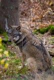 Wolf i det höstliga trät Arkivbilder