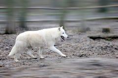Wolf i skog royaltyfria foton