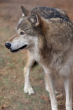 Wolf i skog Royaltyfria Bilder