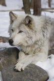 Wolf II van het hout Stock Fotografie