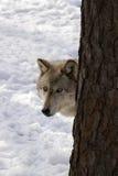 Wolf III van het hout Royalty-vrije Stock Foto's