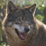 Wolf im hellen Schauen der Wintersonne Lizenzfreie Stockbilder