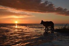 Wolf im Sonnenuntergang Stockfotografie