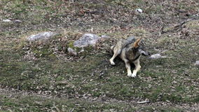 Wolf im Wald stock video footage