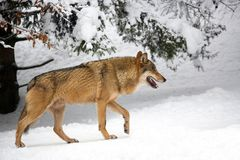 Wolf im Wald im Winter Stockbild