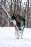Wolf im Winter Stockfoto