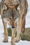 Wolf im Winter Stockbild
