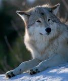 Wolf im Winter Lizenzfreie Stockfotos