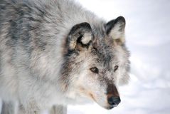 Free Wolf In The Woods Stock Photography - 42835592
