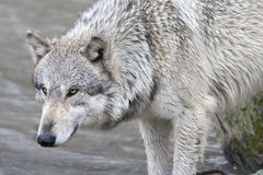 Wolf Intensity. Wolf staring intently with a background of lake water Royalty Free Stock Image