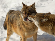 Wolf interaction. Two grey wolves interacting with eachother Royalty Free Stock Photography