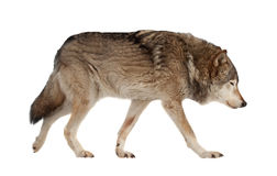Wolf. Isolated over white. Background Royalty Free Stock Photos