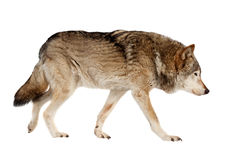 Wolf. Isolated over white Stock Images