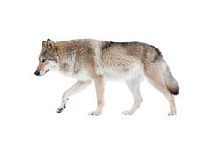 Wolf isolated. Over a white background stock photos