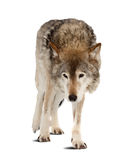 Wolf over white background with shade Stock Photos