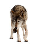 Wolf. Isolated over white Royalty Free Stock Images