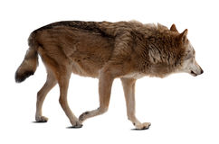 Wolf. Isolated over white Royalty Free Stock Photos