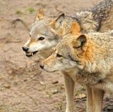 Wolf ist im wilden Lizenzfreie Stockfotografie