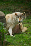 Wolf itching itself. An Eastern Timer wolf giving itself a nice long scratch royalty free stock photography