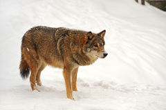 Wolf in winter Royalty Free Stock Photos