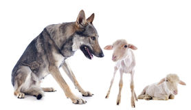 Wolf and lambs Stock Photos