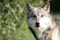 Wolf landscape Royalty Free Stock Photos