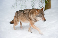 Wolf (lat. Canis lupus) Royalty Free Stock Photography