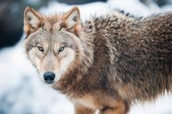 Wolf (lat. De wolfszweer van Canis) Royalty-vrije Stock Foto
