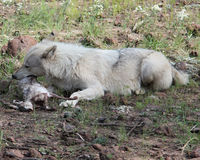 Wolf laying Eating a Rabbit Stock Photography