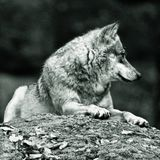 Wolf laying on rock. A wolf laying on a large rock in black and white Royalty Free Stock Photography