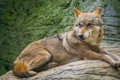 Wolf. Laying on the rocks stock photos