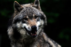 Wolf leader. In spring Stock Photos