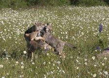 Wolf Lesson des façons Photo stock