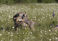 A Wolf Lesson in Manners. Adult grey wolf teaches her pups some manners in a field of wildflowers Stock Photo