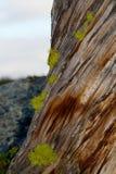 Wolf lichen Stock Photo