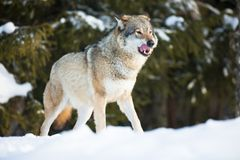 Wolf licking lips in the sunset Royalty Free Stock Photography