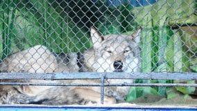 Wolf Lies dans un zoo banque de vidéos