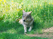 The wolf lies in a grass. Royalty Free Stock Photo