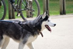 Free Wolf Like Agouti Husky Dog Panting In Summer Heat Stock Photos - 159966683