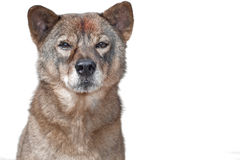 Wolf-like dog Royalty Free Stock Photography