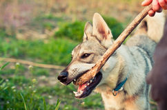 Wolf. Little wolf playing with a stick Stock Photo