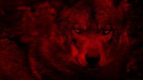 Wolf Looking Around Blood Red-Samenvatting stock video
