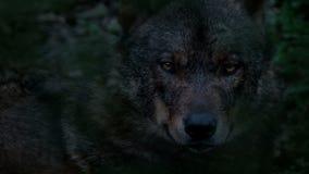 Wolf Looking Around Deep In-Hout in de Avond stock footage