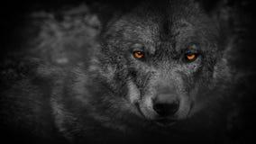 Wolf Looking Around With Fiery-Ogensamenvatting stock videobeelden