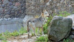 Wolf Looking Around Near futé une grande pierre dans un zoo en été banque de vidéos