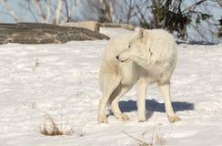 Wolf Looking Back Behind blanco él Imagen de archivo libre de regalías