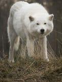 Wolf Looking Into Camera ártico Imágenes de archivo libres de regalías
