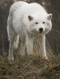 Wolf Looking Into Camera arctique Images libres de droits